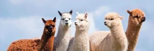 albus alpacas