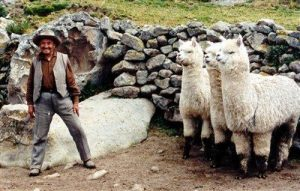 Macusani, Alpaca in Perù