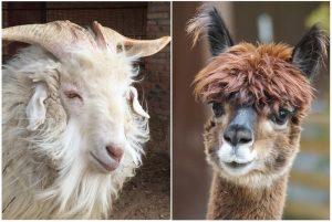 alpaca vs cashmere