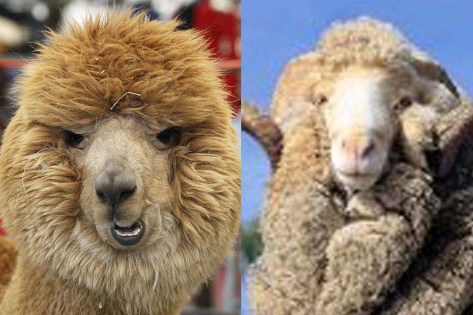 alpaca vs merino